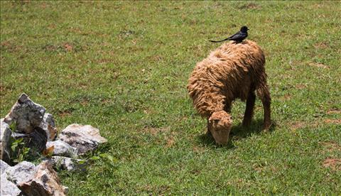 Bird-Sheep
