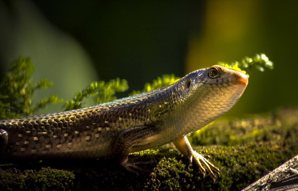 Common garden skink lizard
