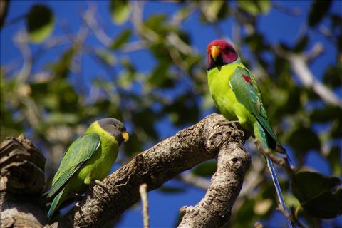 Plum headed parakeet pair