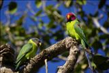 Plum headed parakeet pair