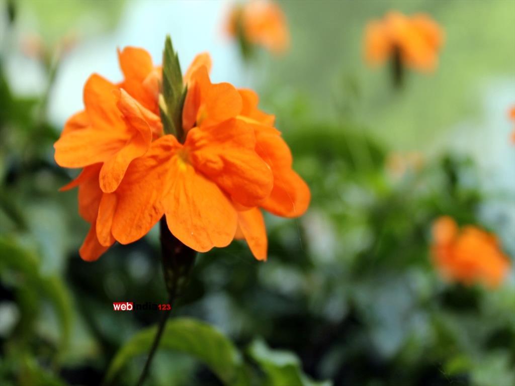Crossandra infundibuliformis (firecracker flower)