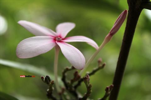 Rauwolfia serpentina(Sarpagandha)