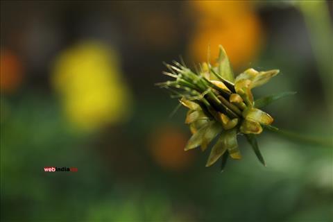 Yellow Cosmos Bud