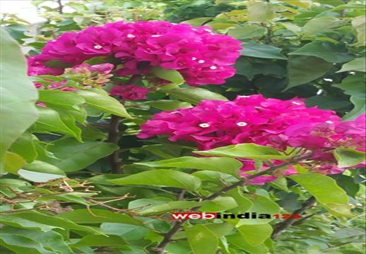 Bougainvilla