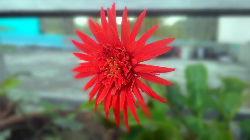 gerbera on my rooftop
