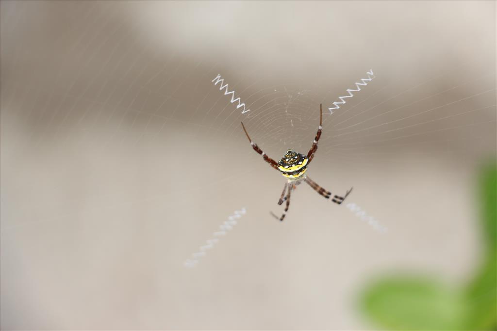 Widlife-Spider