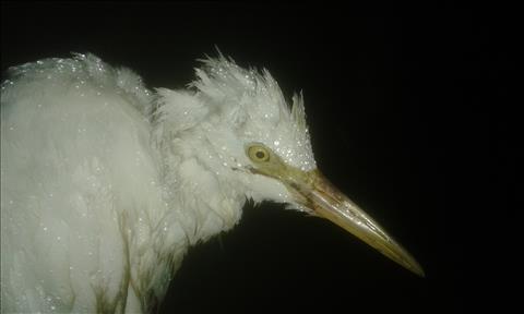 Wet and Helpless White Bird, yellow eye