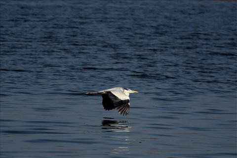 Grey Heron Over the Water