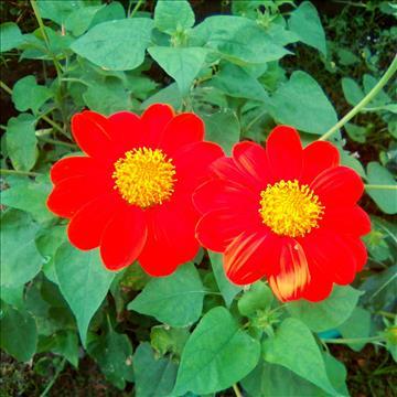 RED+FLOWER