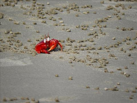 The Red Crab