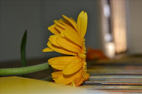 Sun+Flower