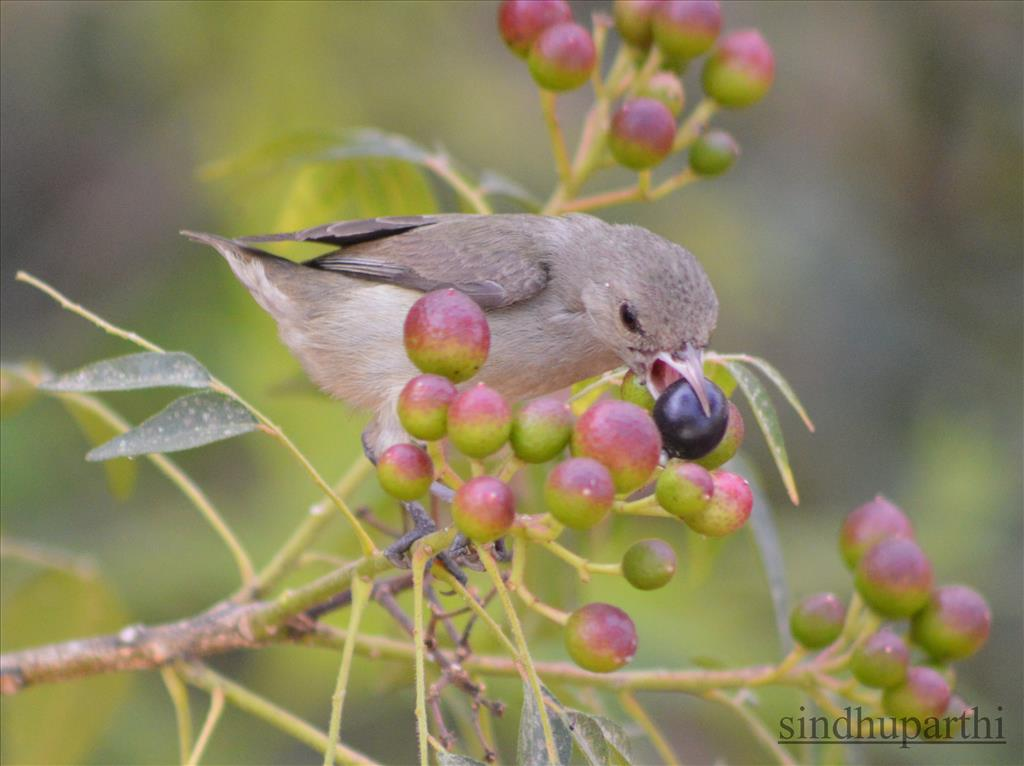 Birds eating fruit