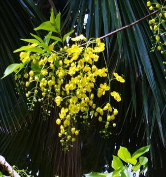 Kanikonna blossum during Vishu