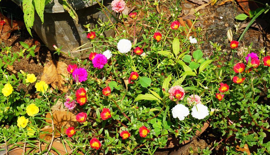 10 O' CLOCK PLANT O VARIOUS COLOURS