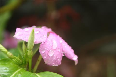 pink+flower