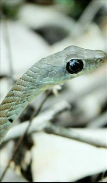 mesmerizing+snake