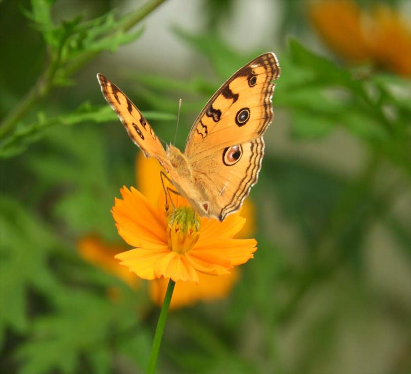 Yellow Coloured Butterfly
