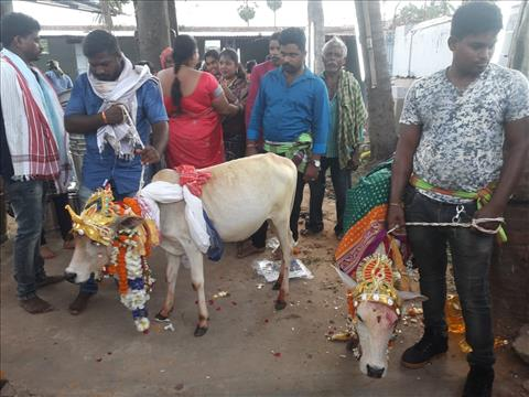 Cow+and+OX+marriage