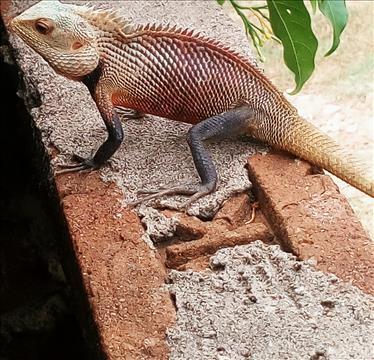 Garden+Lizard