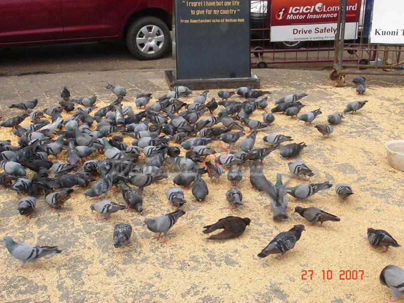Pegions near to Gateway of India