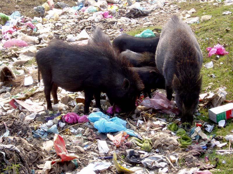 Pig`s banquet