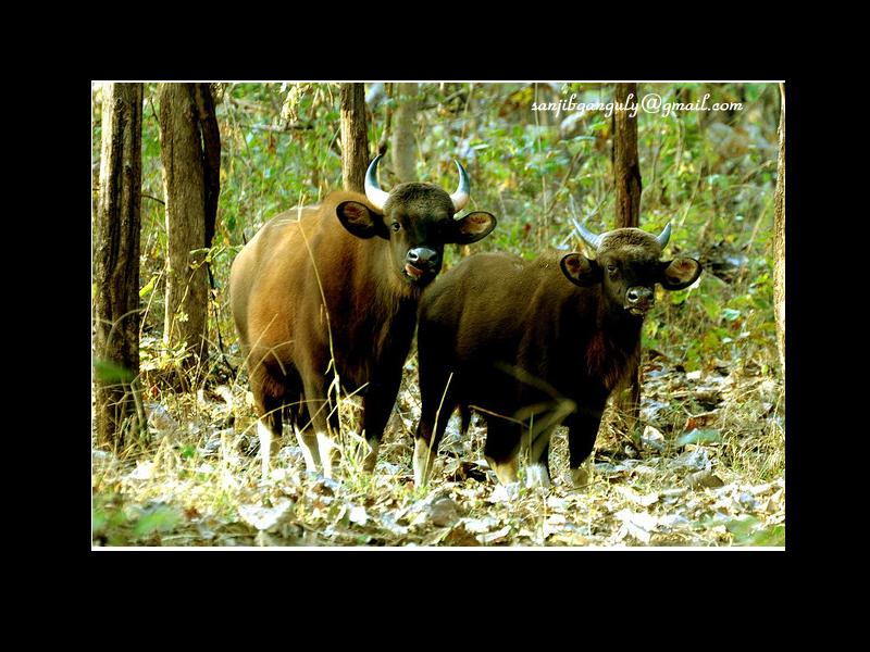 Indian Gaur at Melghat National Park