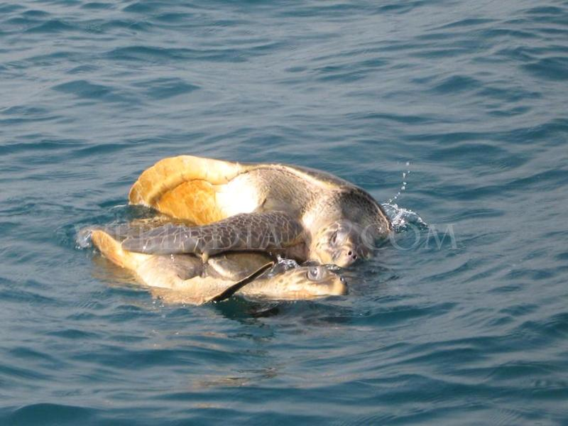 Olive Ridley Mating