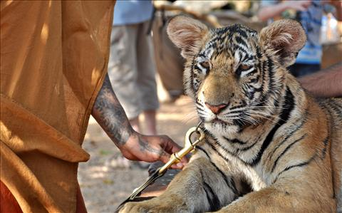 The Tiger Temple (Kanchanaburi Province) Western Thailand