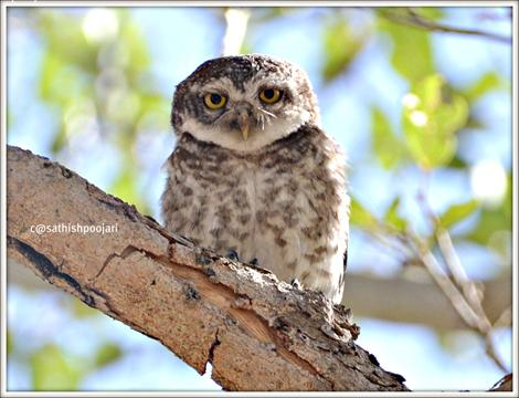 Spooted Owlet