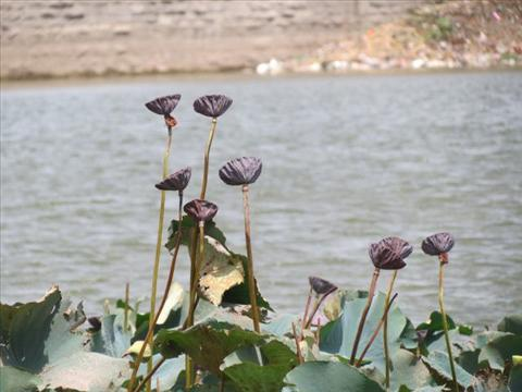 Lotus pods in the lake