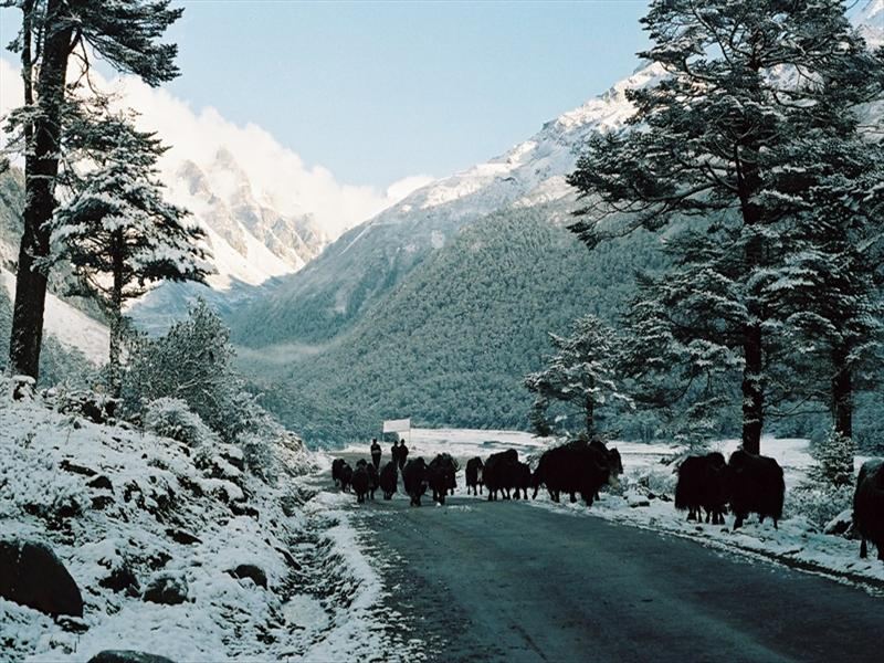 YAKS GRAZE IN THE BEAUTIFUL YUMTHANG VALLEY